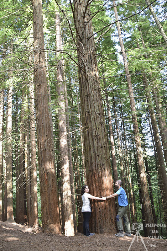 Bosque de las Secuoyas. Uno de los 10 imprescindibles que ver en Cantabria.